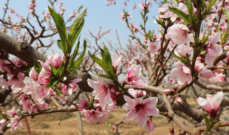 衡水深州:桃花争艳春满园 引得八方游人来