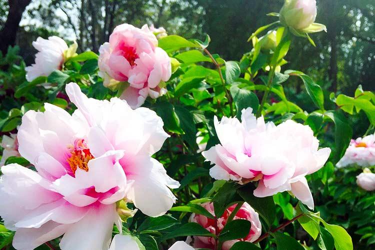 花都开好了 石家庄长安公园牡丹盛放