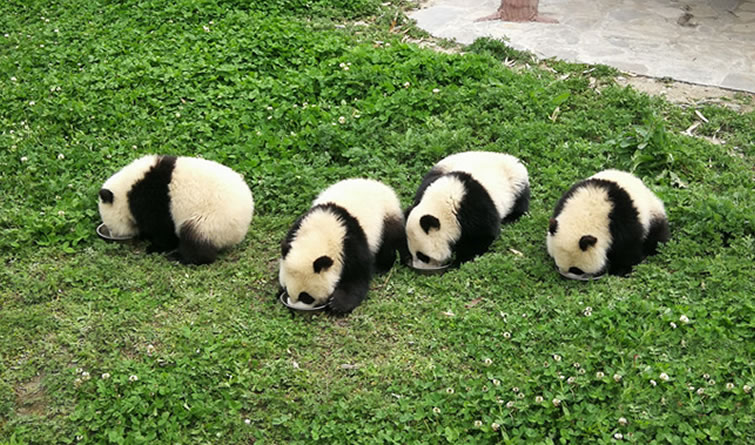 萌翻了!熊猫宝宝集体喝奶 盆底都舔干净了