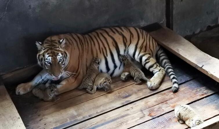 黑龙江海林:一雌性东北虎再生五胞胎宝宝