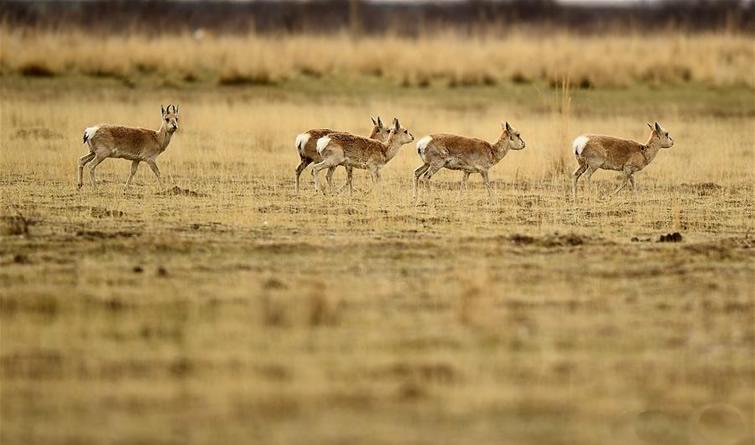 青海濒危野生动物普氏原羚种群数量增至2057只