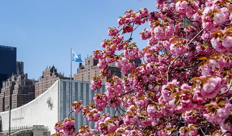 联合国樱花盛开