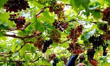 种植葡萄促增收
