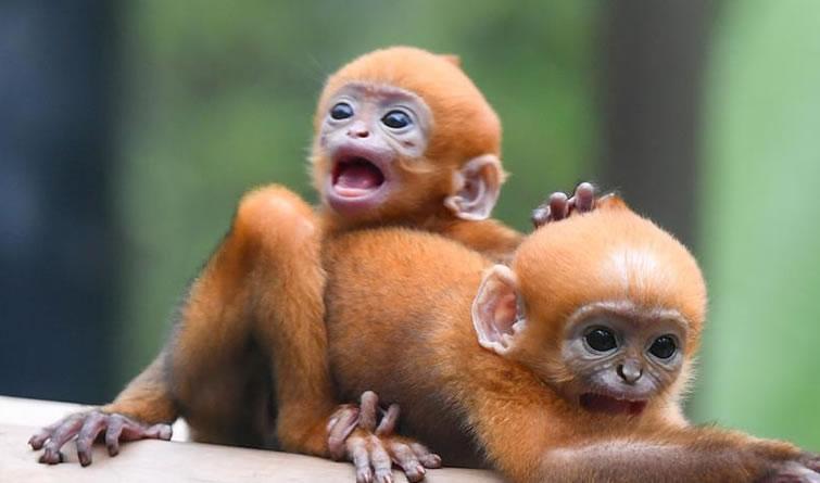 广州:珍稀黑叶猴诞下龙凤胎