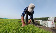 河北滦南:水稻插秧忙