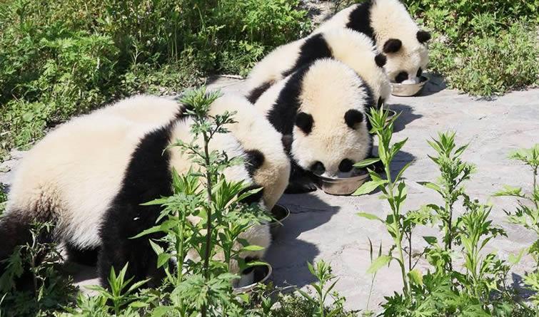 """来大熊猫""""幼儿园""""看熊猫宝宝的日常"""