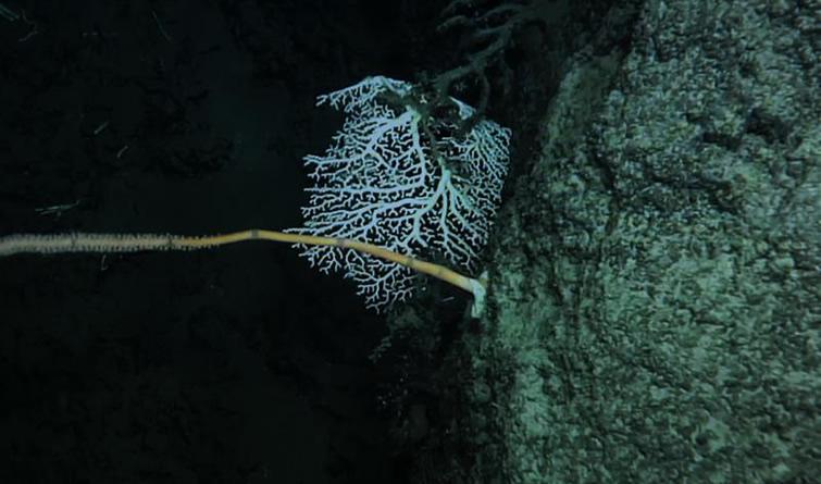 我国科学家在南海首次发现冷水珊瑚群