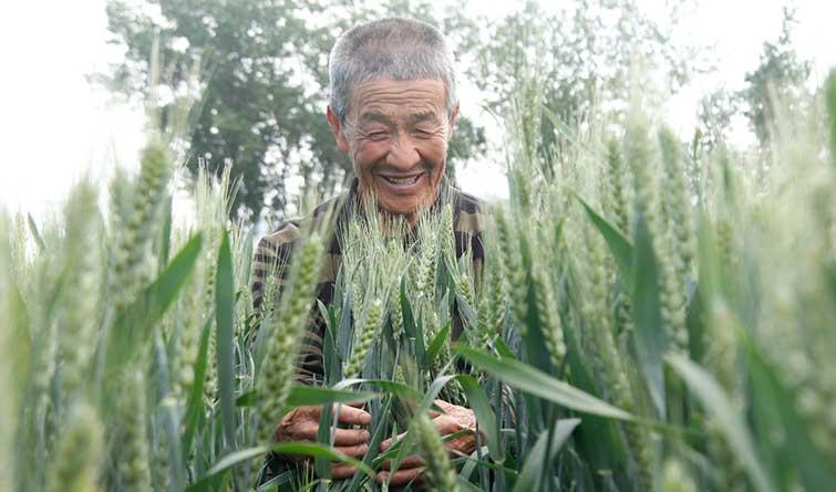 唐山丰润近30万亩小麦长势良好丰收在望