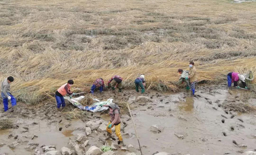 南堡湿地开启互花米草治理模式