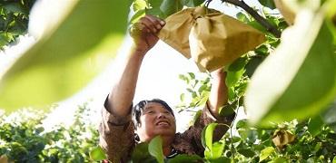威县:梨产业助力乡村振兴