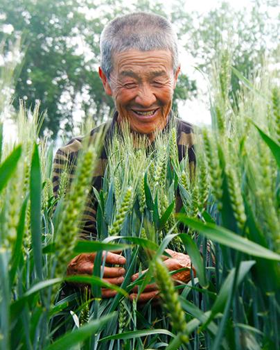 唐山丰润:小麦丰收在望 农民笑逐颜开