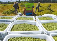 小豌豆大农业