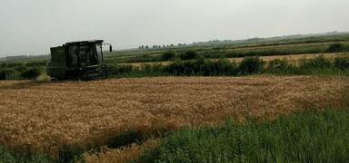 一线写真  新观刈麦