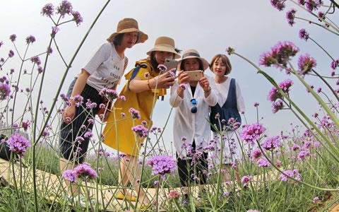 河北秦皇岛70余亩马鞭草盛开 俯瞰如紫色花海