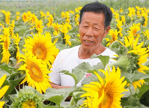 唐山丰润:油葵花开 丰收在望