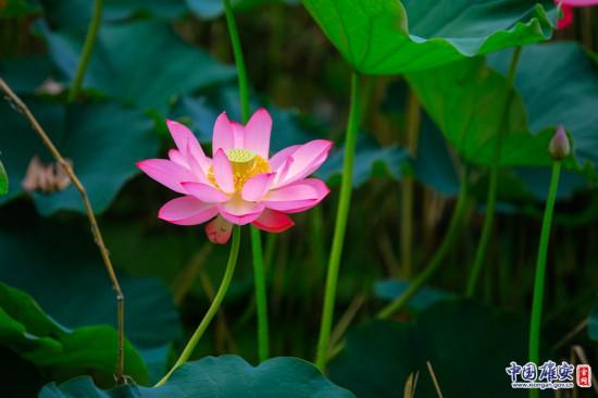 七月的白洋淀:朵朵荷花淀中排,千姿百态竞相开