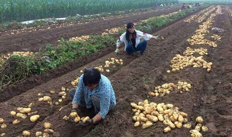"""唐山滦县:土豆成为致富的""""金疙瘩"""""""