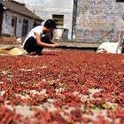 中国·涉县首届花椒采摘节即将启帷