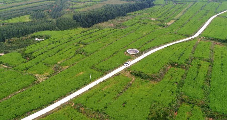 河北内丘:中草药种植助增收