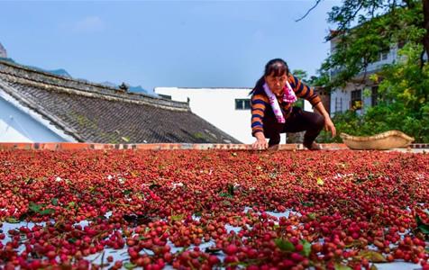 河北涉县:花椒产业铺就致富路