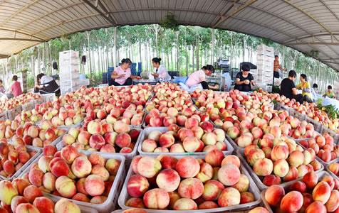 乐亭:鲜桃产业助力乡村振兴