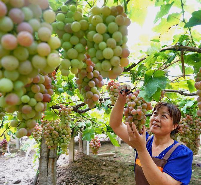 河北昌黎:葡萄香溢四方