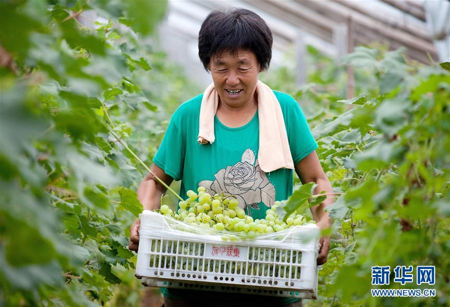 河北武邑:特色农业助增收