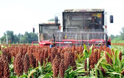 河北阜城:酿酒高粱映红致富路