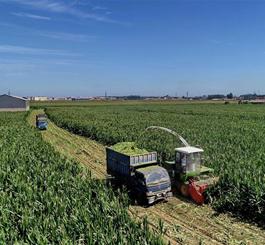 滦南县农民收获青贮玉米