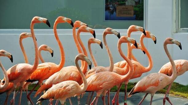 粉色的海洋 这里才是全球火烈鸟最多的地方