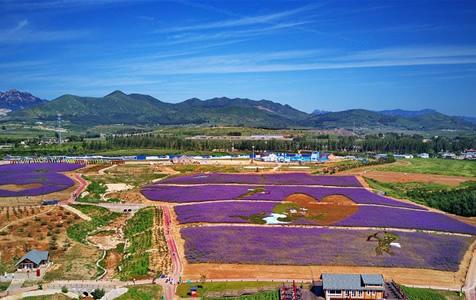 河北秦皇岛:花海绘就艺术景观