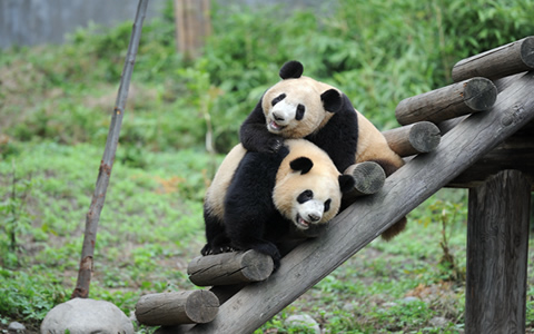 熊猫初长成