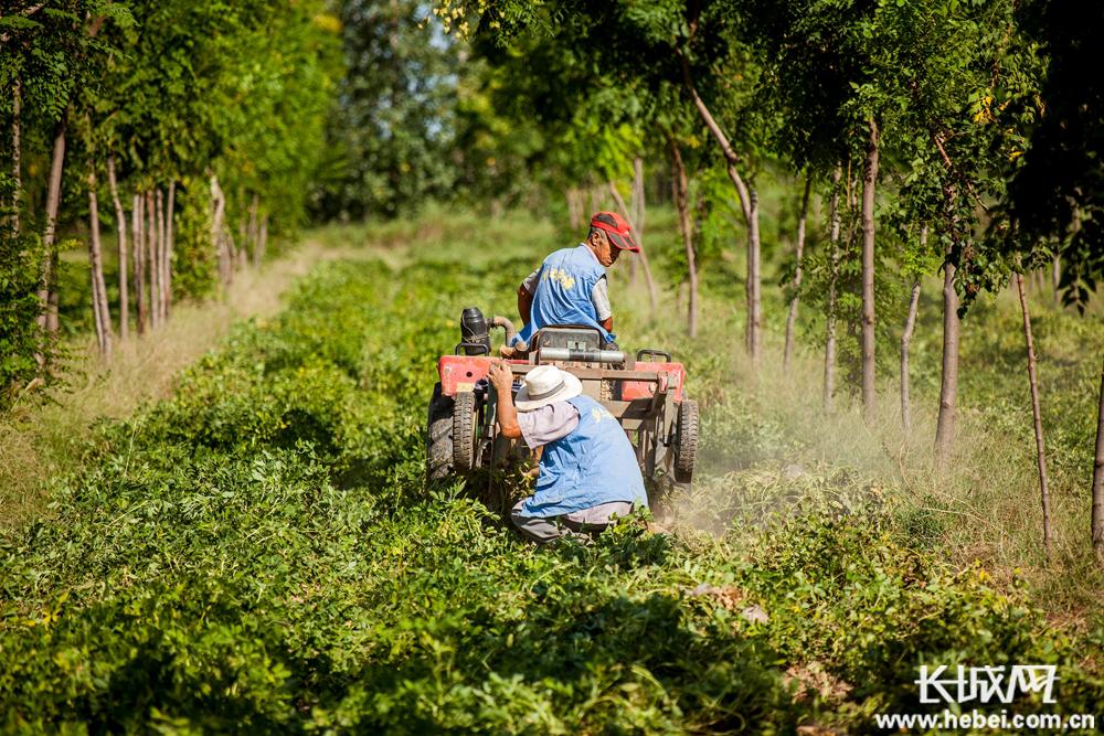 武邑县调整农业种植结构 促农民增收致富