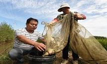 河北霸州:稻壮鱼肥丰收在望