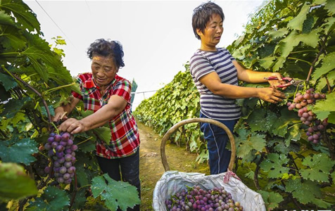 河北广阳:秋日果香富农家