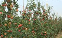 高标准苹果果园