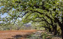 玉泉山古梨树