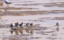 沿海湿地水鸟