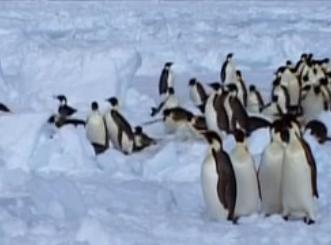 企鹅脚部不怕冻之谜
