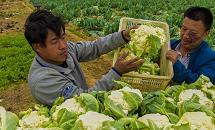 河北故城:菜花种植助力脱贫
