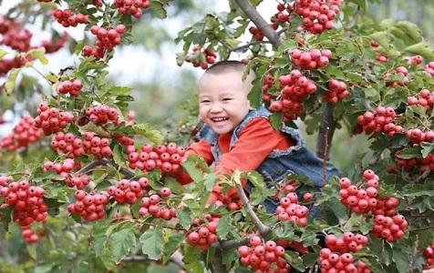 河北清河:红果飘香 引热乡村旅游