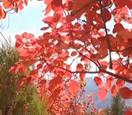 北京 降温明显 八达岭进入红叶观赏期