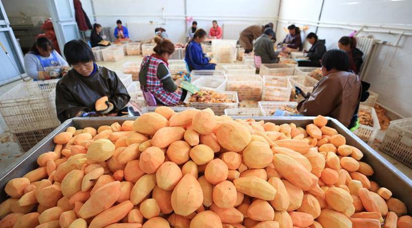河北迁西:山地红薯富农增收