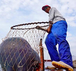 唐山滦南:海蜇收获季 总产量预计超2000万斤