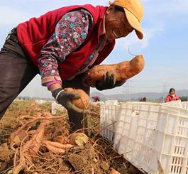唐山玉田:红薯丰收田间忙