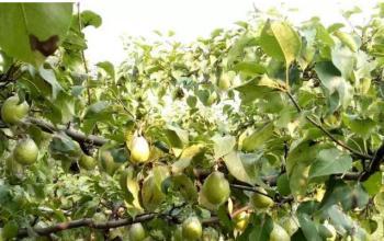 梨树在变小却是【高、富、美】