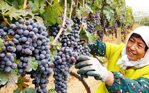 河北昌黎:葡萄飘香酿美酒