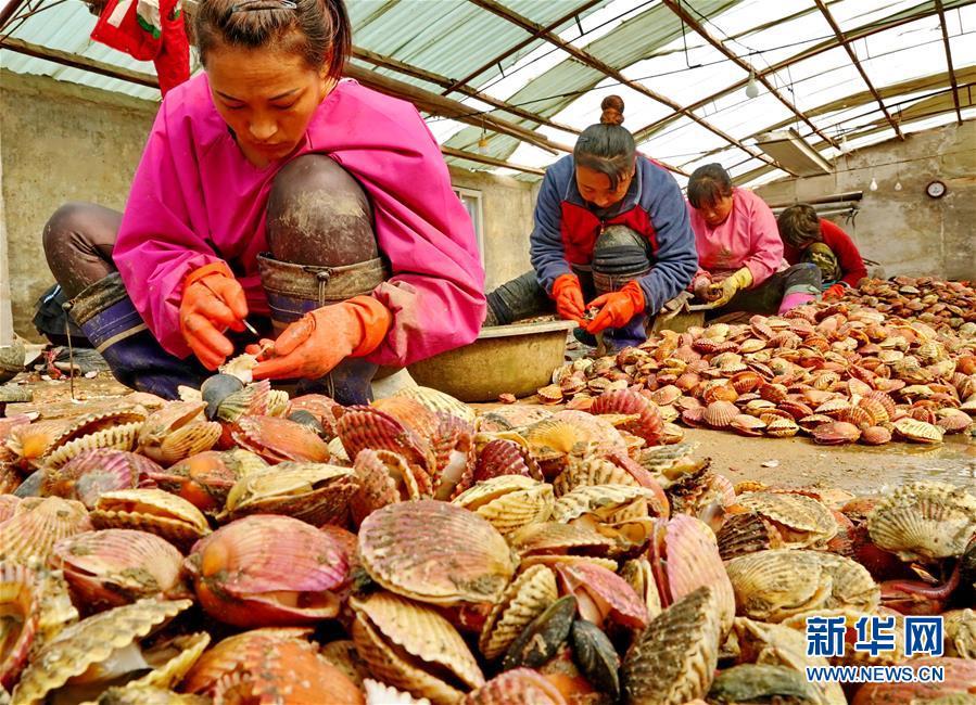 河北乐亭:扇贝养殖助农增收