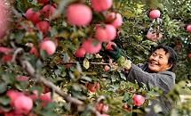 乐亭:壮大果菜产业助推乡村振兴