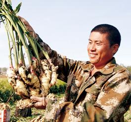 新军屯镇2.5万亩大姜进入收获期